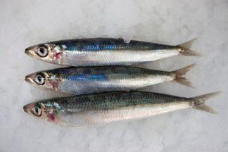 דג אנשובי